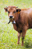 Portrait of brown calf with bell Royalty Free Stock Photo