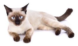 Portrait of brown cat isolated on white background stock image