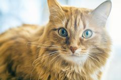 Red Cat Closeup. Portrait of Brown Cat, Red Tabby Male Cat, Ginger Long Hair Cat, The Fluffy Pet, Young Orange Striped Kitty royalty free stock photo