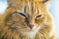 Red Cat Closeup. Portrait of Brown Cat, Red Tabby Male Cat, Ginger Long Hair Cat, The Fluffy Pet, Young Orange Striped Kitty royalty free stock image