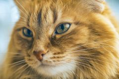 Red Cat Closeup. Portrait of Brown Cat, Red Tabby Male Cat, Ginger Long Hair Cat, The Fluffy Pet, Young Orange Striped Kitty stock image