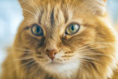 Red Cat Closeup. Portrait of Brown Cat, Red Tabby Male Cat, Ginger Long Hair Cat, The Fluffy Pet, Young Orange Striped Kitty stock photography