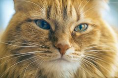 Red Cat Closeup. Portrait of Brown Cat, Red Tabby Male Cat, Ginger Long Hair Cat, The Fluffy Pet, Young Orange Striped Kitty stock images