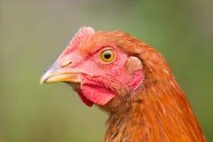 Chicken portrait. Portrait of a brown chicken Royalty Free Stock Photos