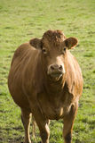Portrait of a brown cow. Stock Photography