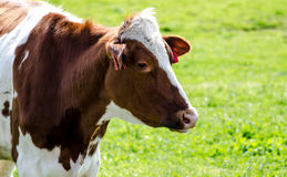 Brown cow at an agricultural show. Royalty Free Stock Photography