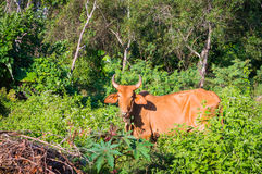 Portrait of a brown cow that eats green tree branches Stock Photography