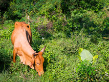 Portrait of a brown cow that eats green tree branches Stock Photo