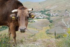 Portrait of brown cow gazing to the camera on the cliffs and b stock photography