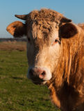 Portrait of a brown cow with horns Stock Photo