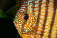 Portrait of discus fish Symphysodon Royalty Free Stock Photos