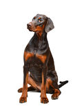 Portrait of brown doberman on the white background Stock Photography