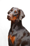 Portrait of brown doberman on the white background Royalty Free Stock Photo