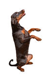 Portrait of brown doberman on the white background Royalty Free Stock Photos