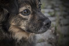 Portrait of brown dog Stock Images