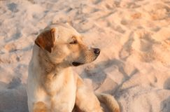 Portrait of brown dog at a beach with light of sunrise. Portrait of brown dog at a beach on relax day with light of sunrise stock images