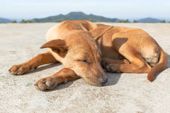 Portrait of brown dog sleeping in the ground Stock Images