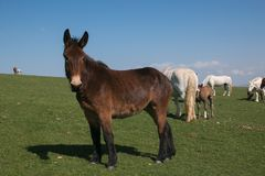 Portrait of brown donkey on green mountain meadow. Italy, Europe Royalty Free Stock Photos