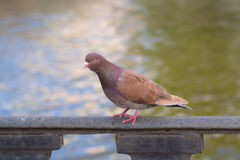 Portrait of a brown dove Royalty Free Stock Photo