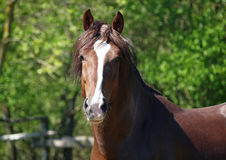 Portrait of a brown draught horse Stock Photography