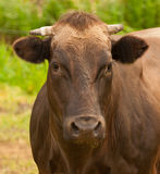 Portrait of a brown Dutch cow with horns Stock Image
