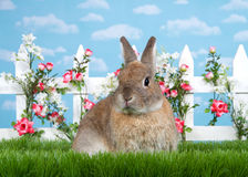Portrait brown dwarf bunny in flower garden. Brown dwarf rabbit sitting in green grass, facing viewer. White picket fence with small pink roses. Blue background Stock Photos