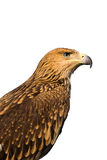 Portrait of a brown eagle Stock Image