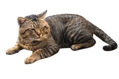 Portrait of brown eyed and big head tabby cat isolated on white Stock Photo