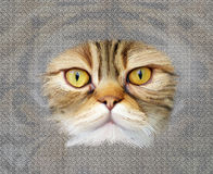 Portrait of brown-eyed cat Royalty Free Stock Photos