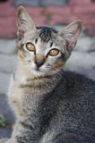 Portrait of brown eyed cat. Eye contact Royalty Free Stock Photo
