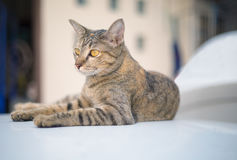 Portrait of brown-eyed cat Stock Photography