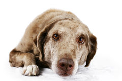 Portrait of brown eyed dog. Worm eye portrait of a funny looking mutt dog, labrador and Australian shepherd mix, with big brown eyes laying down on white, great Stock Photos