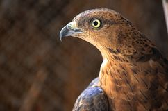 Portrait Brown Falcon Royalty Free Stock Photos