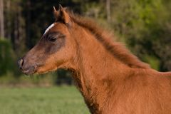 Portrait of brown foal Royalty Free Stock Photo