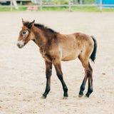 Portrait Of Brown Foal In Farm Paddock Stock Image