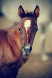 Portrait of a brown foal. Royalty Free Stock Photos