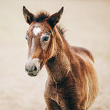 Portrait Of Brown Foal Young Horse. Close Up Portrait Of Brown Foal Young Horse Royalty Free Stock Photos