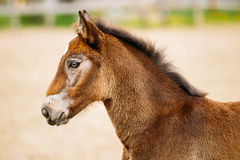 Portrait Of Brown Foal Young Horse. Close Up Portrait Of Brown Foal Young Horse Stock Photography