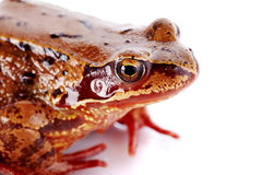 Portrait of a brown frog. Stock Photo