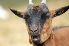 Portrait of a brown goat Royalty Free Stock Images