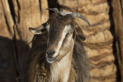Portrait of a brown goat. Stock Photography