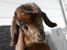 Portrait of brown goatling with blue eyes. Outdoors Royalty Free Stock Photography