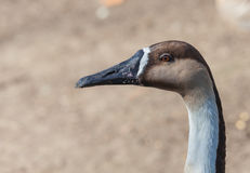 Portrait of a brown goose close Royalty Free Stock Images
