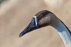 Portrait of a brown goose close Stock Image