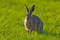 Portrait of a brown hare Stock Images