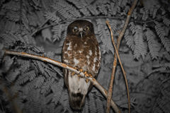 Portrait of Brown Hawk owl from Thailand Royalty Free Stock Photo