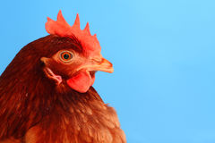 Portrait of the brown hen. On the blue background Royalty Free Stock Photo