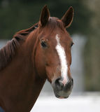 Portrait of brown horse. With white nose outdoors Royalty Free Stock Photo