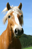 Portrait of brown horse Royalty Free Stock Images
