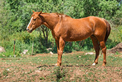 Portrait of a brown horse Stock Photos